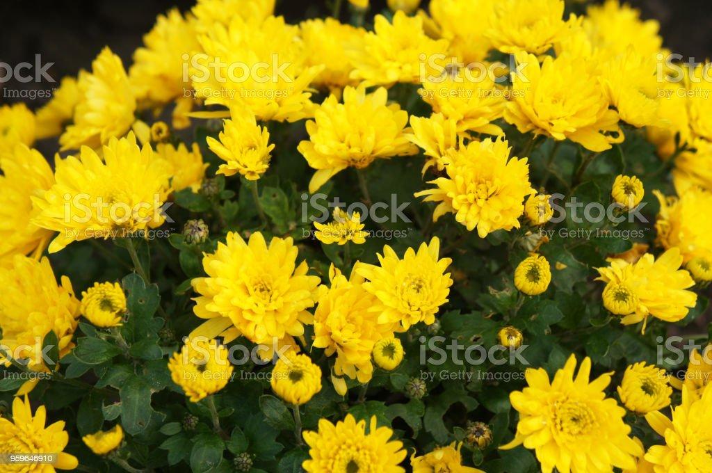 Muchas flores de crisantemo amarillo oro con verde - Foto de stock de Amarillo - Color libre de derechos
