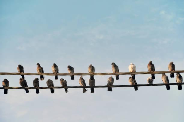 Many gray wild pigeons sitting on two electric wires picture id858196912?b=1&k=6&m=858196912&s=612x612&w=0&h=6c7dkjmtkq s2vsicylbldi sua11fv93xafh3u 1mq=