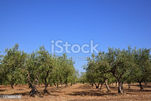 Many green olive trees form an avenue in an olive field, against a blue sky in Sicily