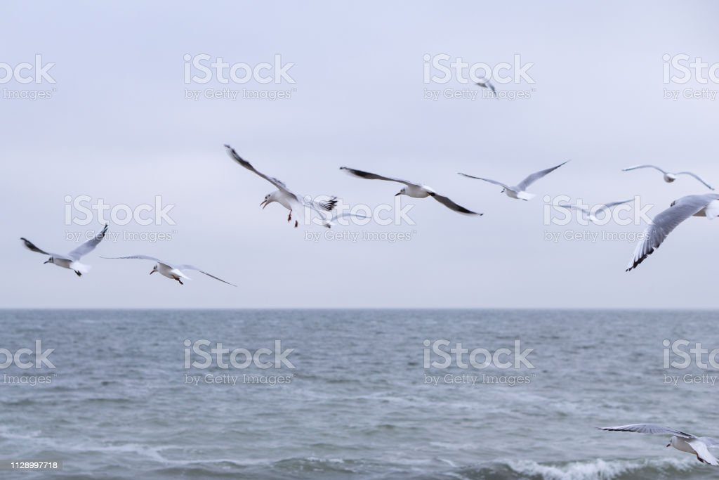 Many gulls fly over the cold sea in winter. Black Sea