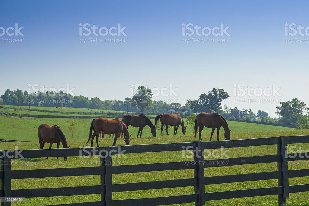 Many horses grazing at beautiful farm at Kentucky. stock photo