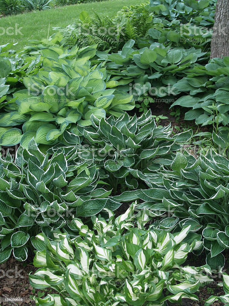 Many hosta plants in a garden by a lawn stock photo