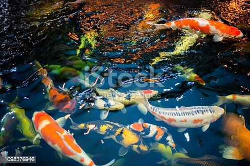 Many koi fish swim in the pond.