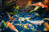 Many koi fish swim in the pond.