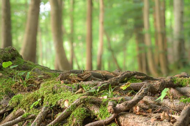 Viele große Wurzeln eines Baumes vor verschwommenen grünen Bäumen Hintergrund – Foto