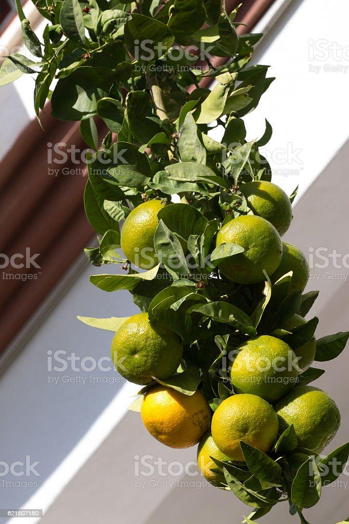 Many lemons mandarins hanging on branch in single line. Part foto stock royalty-free