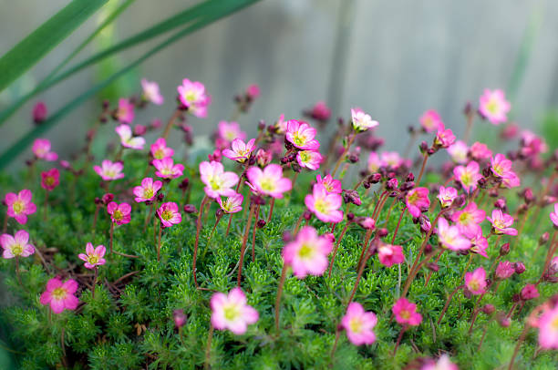 Many Little Pink Flowers With Middle In Focus stock photo