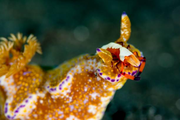 many lobed ceratosoma with an emperor shrimp stock photo