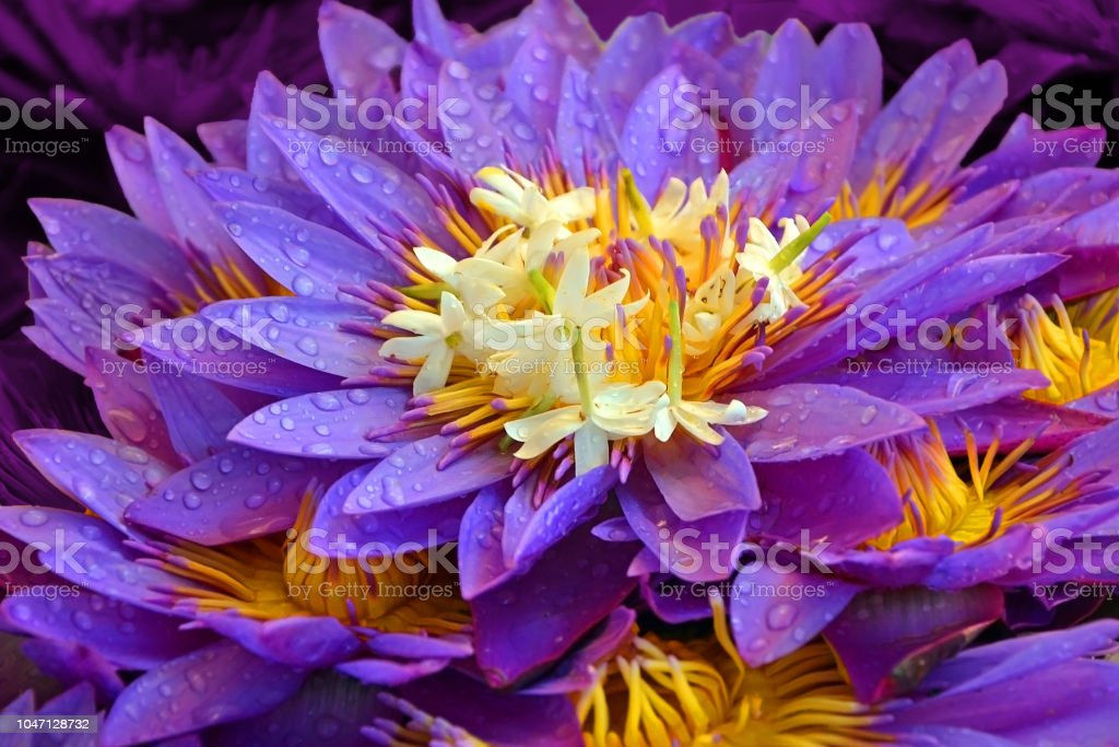 many lotus flowers close-up with dew drops. beautiful floral purple yellow background stock photo