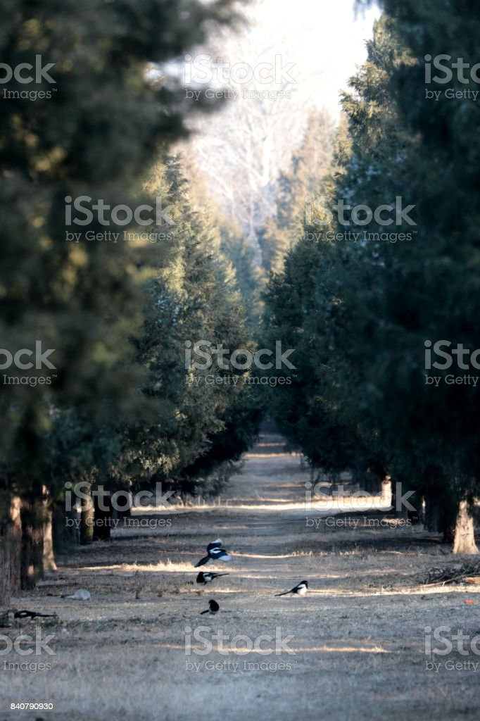 many Magpies in the boulevard of pine in a Chinese park, very quite and peaceful - foto stock