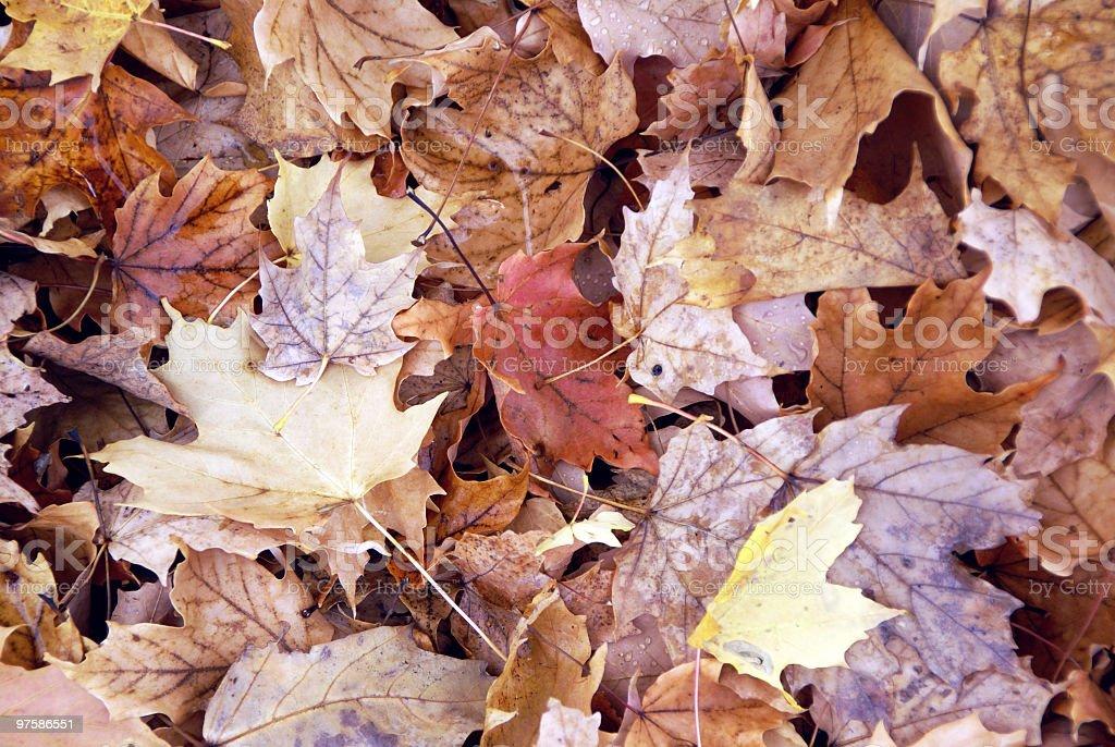 Many Maple Leaves royalty-free stock photo