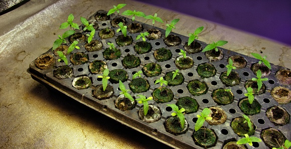 597927996 istock photo Many Marijuana (Cannabis) Seedlings Grow in a Tray underneath Artificial Light in an Indoor Growing Facility (Hemp) 1204221859