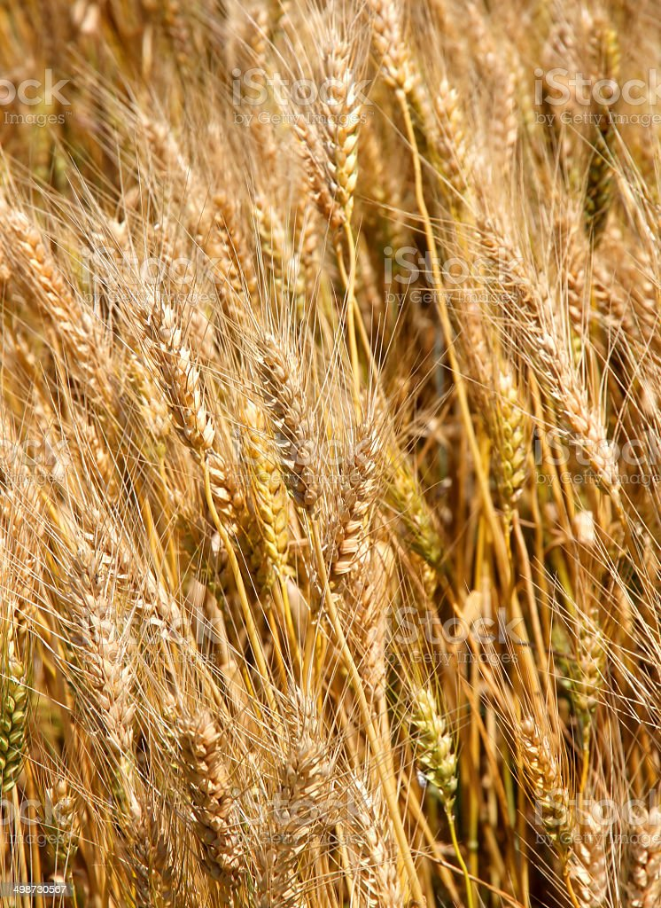 Many mature wheat stalks in June stock photo