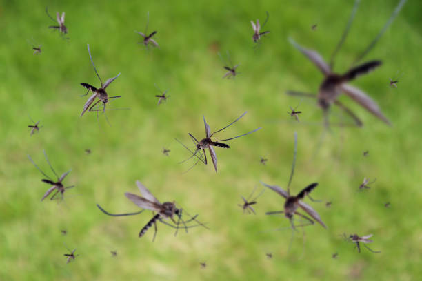 Many mosquitoes fly over green grass field Many mosquitoes fly over green grass field pest stock pictures, royalty-free photos & images