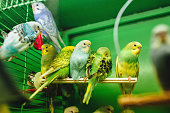 Many multicolor wavy parrots sit in cage. Pet shop. Birds in captivity. Close-up.