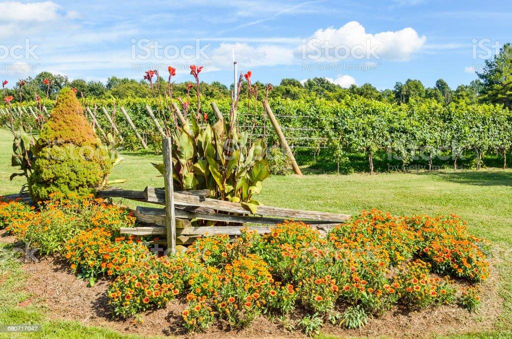 Many multicolored Indian Goblin Blanket flowers in vineyard garden stock photo