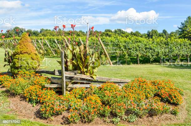 Photo of Many multicolored Indian Goblin Blanket flowers in vineyard garden