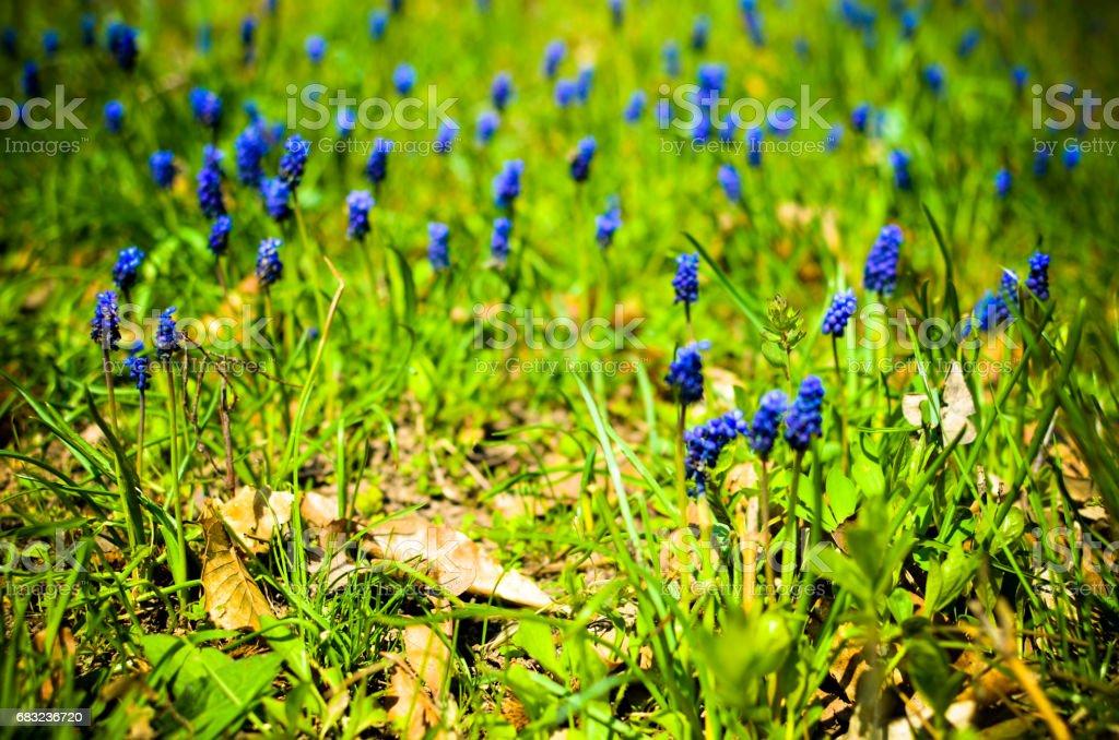 그린 필드에서 많은 muscari 꽃 royalty-free 스톡 사진