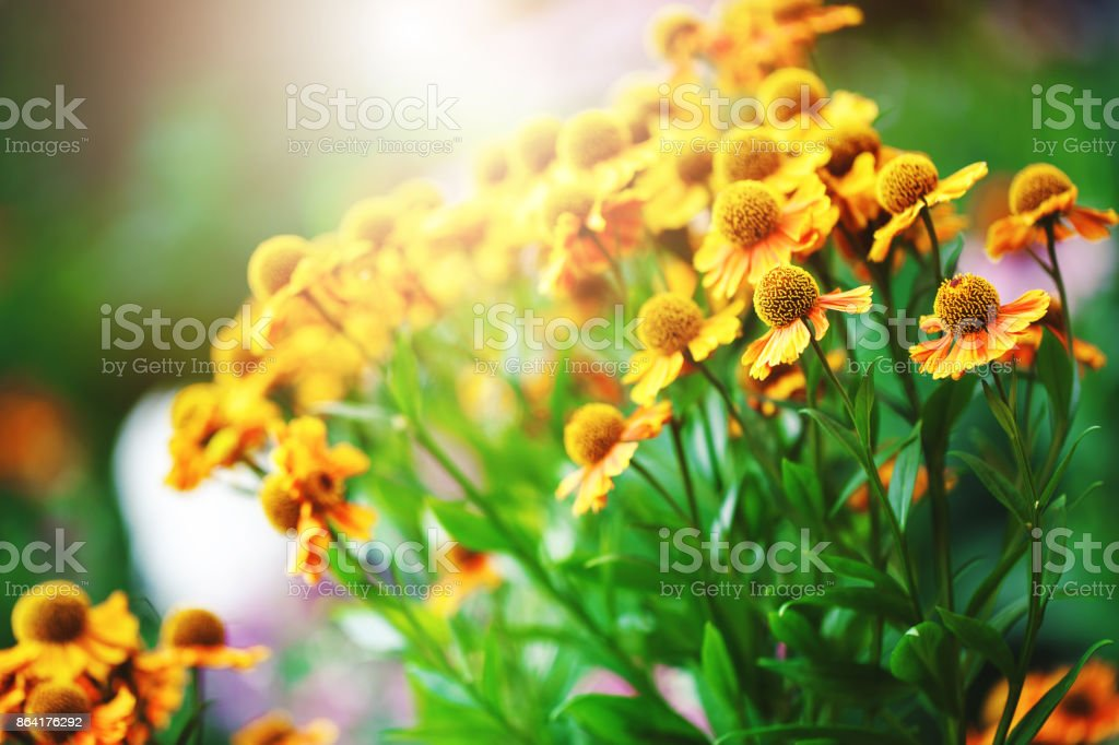 many orange red garden flowers in flowerbed in morning. Fresh natural sunny autumn background royalty-free stock photo