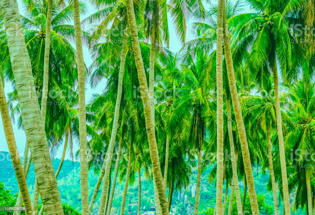 Long trunks of palm trees with their branches at the tops and large...