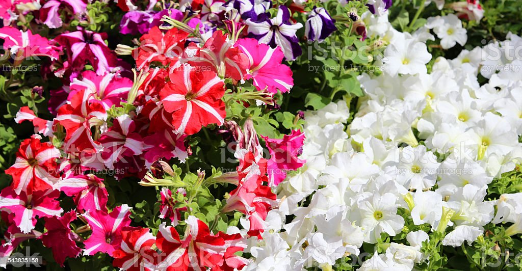 many petunia flowers in the market in summer stock photo