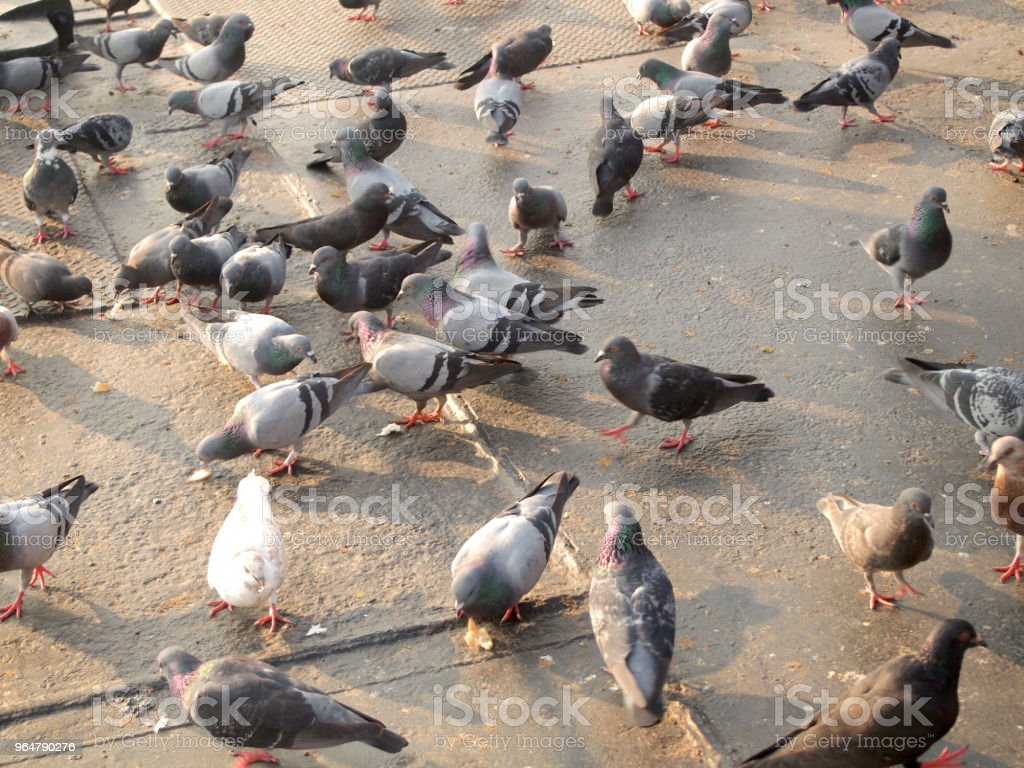 Many pigeon royalty-free stock photo