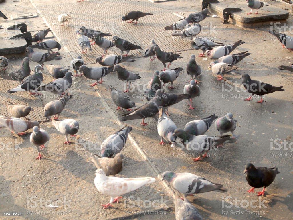 Many pigeon royalty-free stock photo