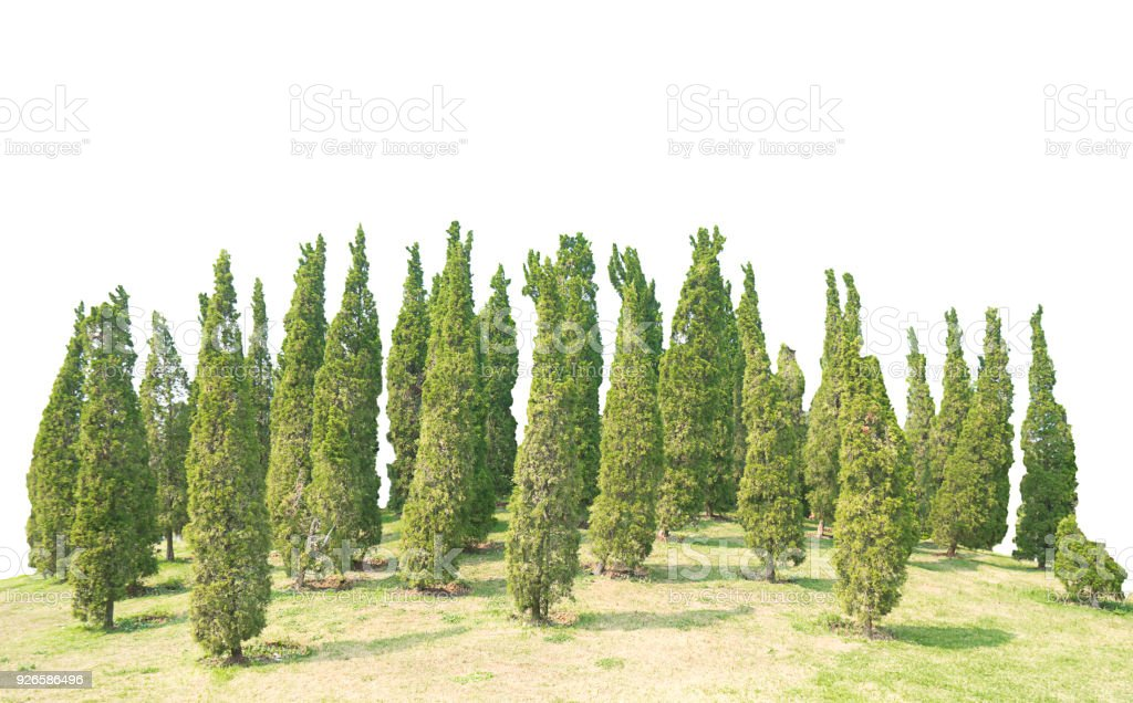 Many pine Ornamental plants Green Tree and meadow  isolated at on white background of file with Clipping Path stock photo
