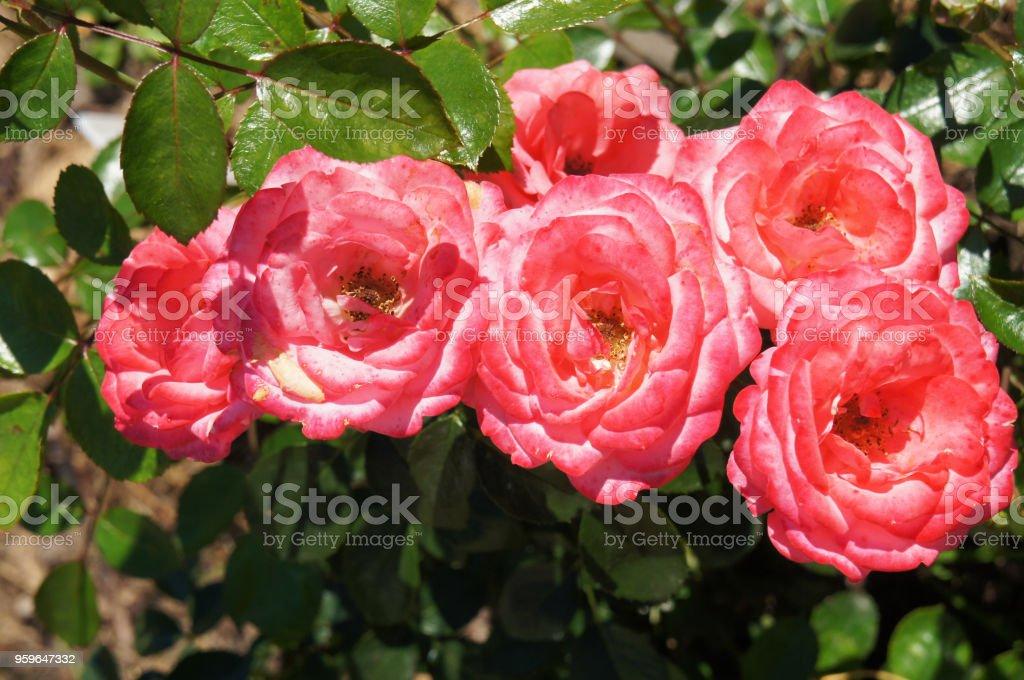 Muchas flores de rosas de floribunda color de rosa con verde - Foto de stock de Aire libre libre de derechos
