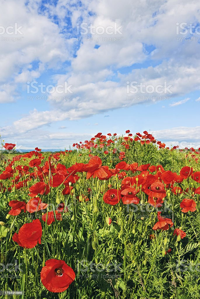 Many poppies on the hill royalty-free stock photo