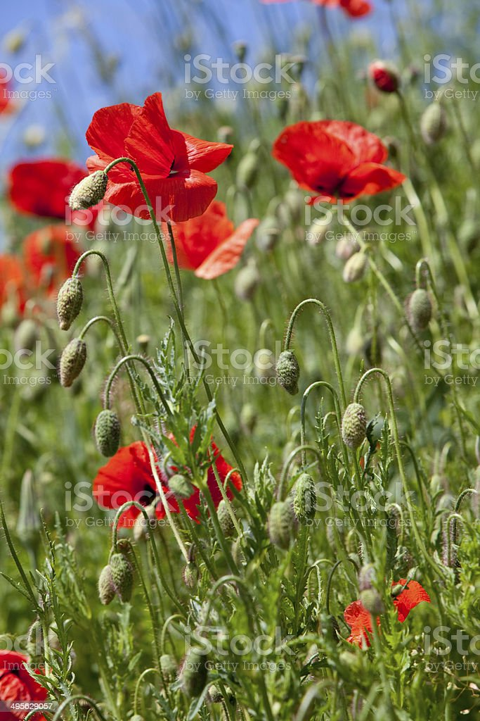 Many Poppy in front off a blue sky stock photo