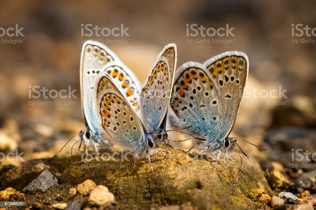 Many pretty gossamer-winged butterflies resting together stock photo