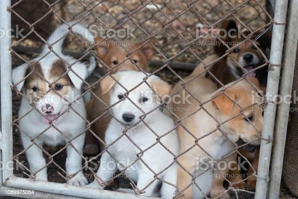 Many puppies in a cage picture id1089975054?b=1&k=6&m=1089975054&s=612x612&h=h1qdi5jou bwfdyybks4vn untbq8xqzcjsnonzaqdq=