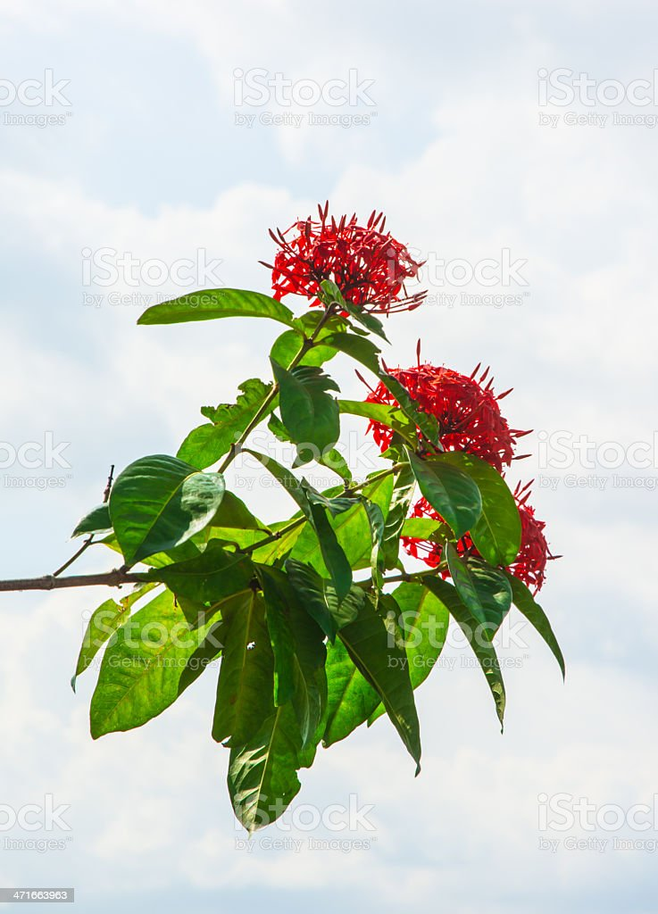 many red flower isolated royalty-free stock photo
