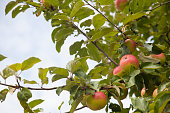 Many ripe red apples on a apple tree