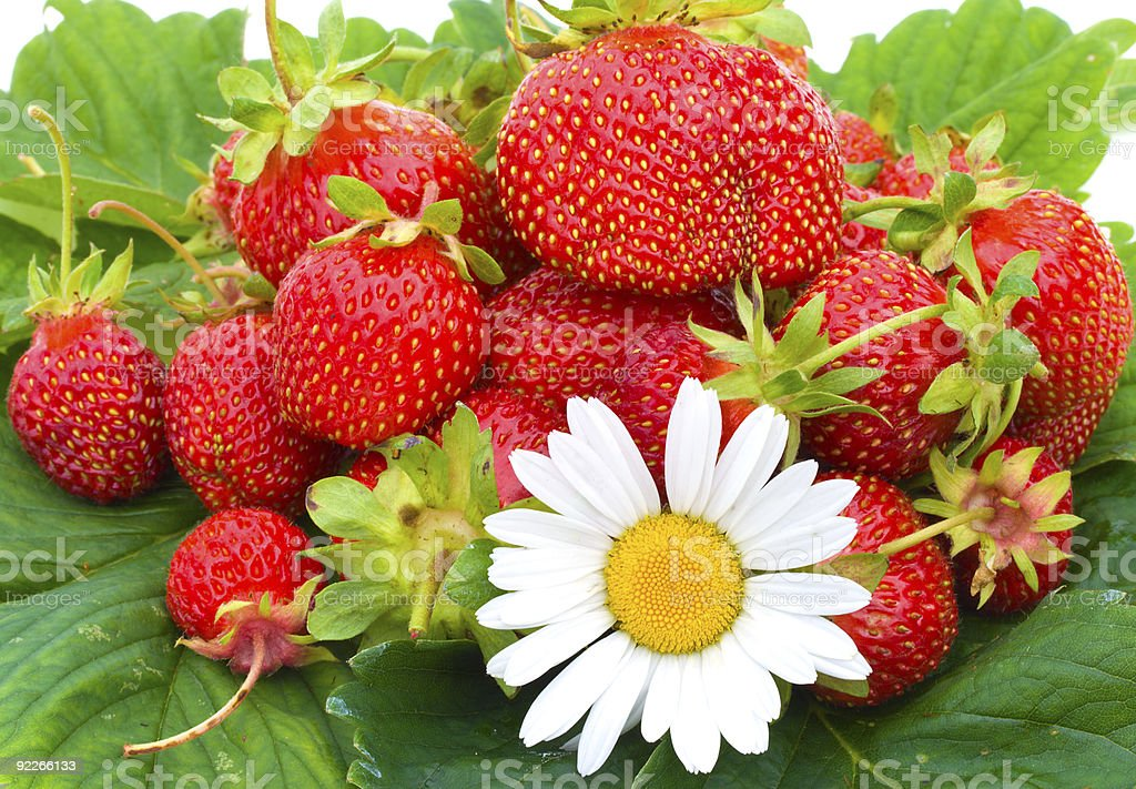 many ripe strawberries and chamomile royalty-free stock photo