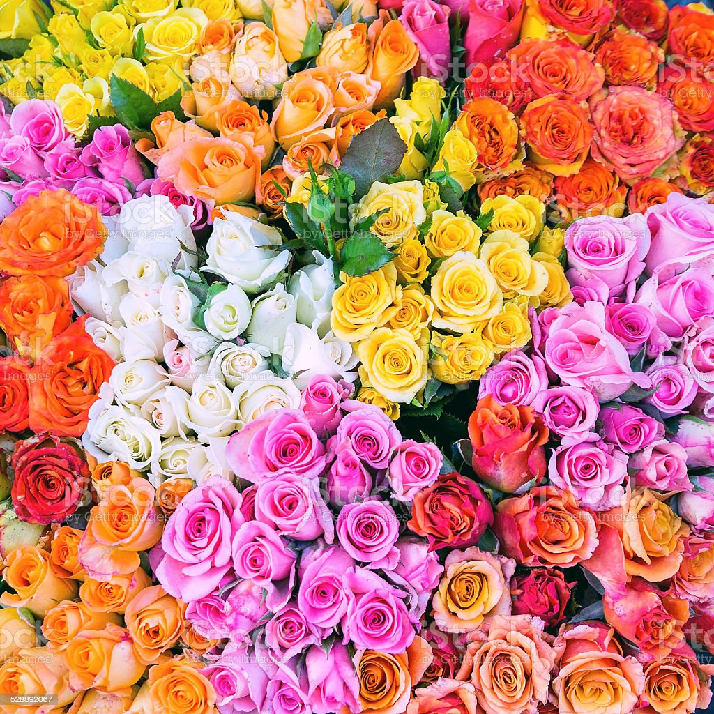 Many roses in different colors stock photo