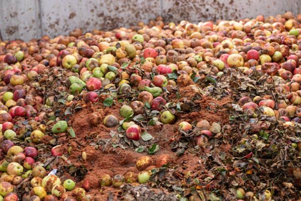 Viele faule und ramponierte Äpfel kompostiert nach der Ernte. – Foto