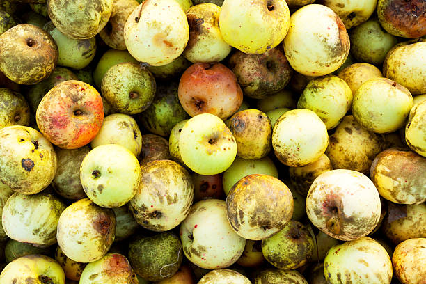 Many rotten apples Many stacked organic rotten apples. addle stock pictures, royalty-free photos & images