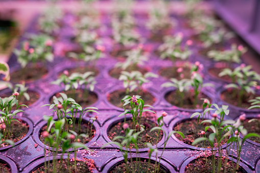 615599804 istock photo Many rows of green growing seedlings in small pots inside greenhouse 1200349129