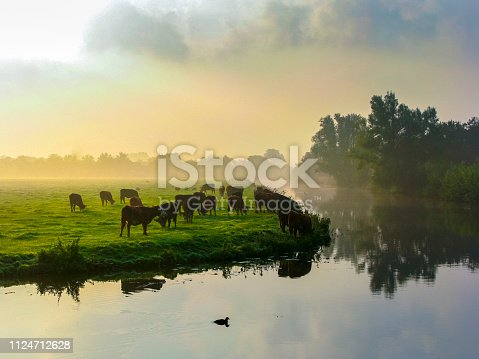 Many grazing cows in pasture at a dramatic sky, sun shining, water refection. Typical Dutch scene.  the Netherlands.