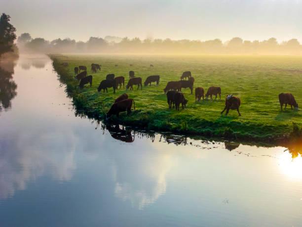 Viele wiederkäuende Kühe auf grüner Wiese. – Foto
