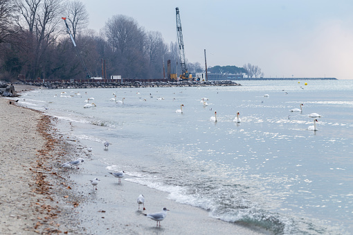 Many sea gulls and swans