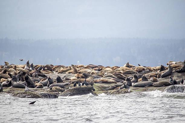 Viele Seelöwen – Foto