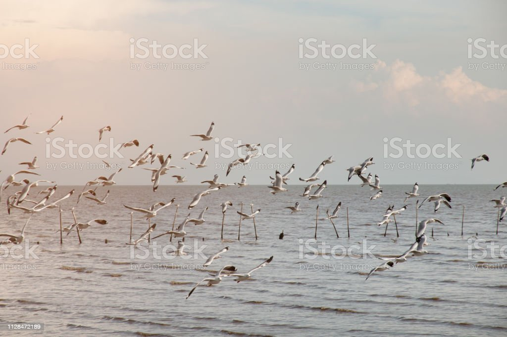 Many seagull flying among on the sea in evening time