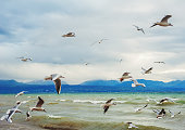 Many seagulls flying over Lake Geneva at winter time, Switzerland