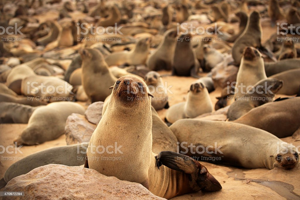 Many Seals at Cape Cross Seal Colony in Namibia stock photo