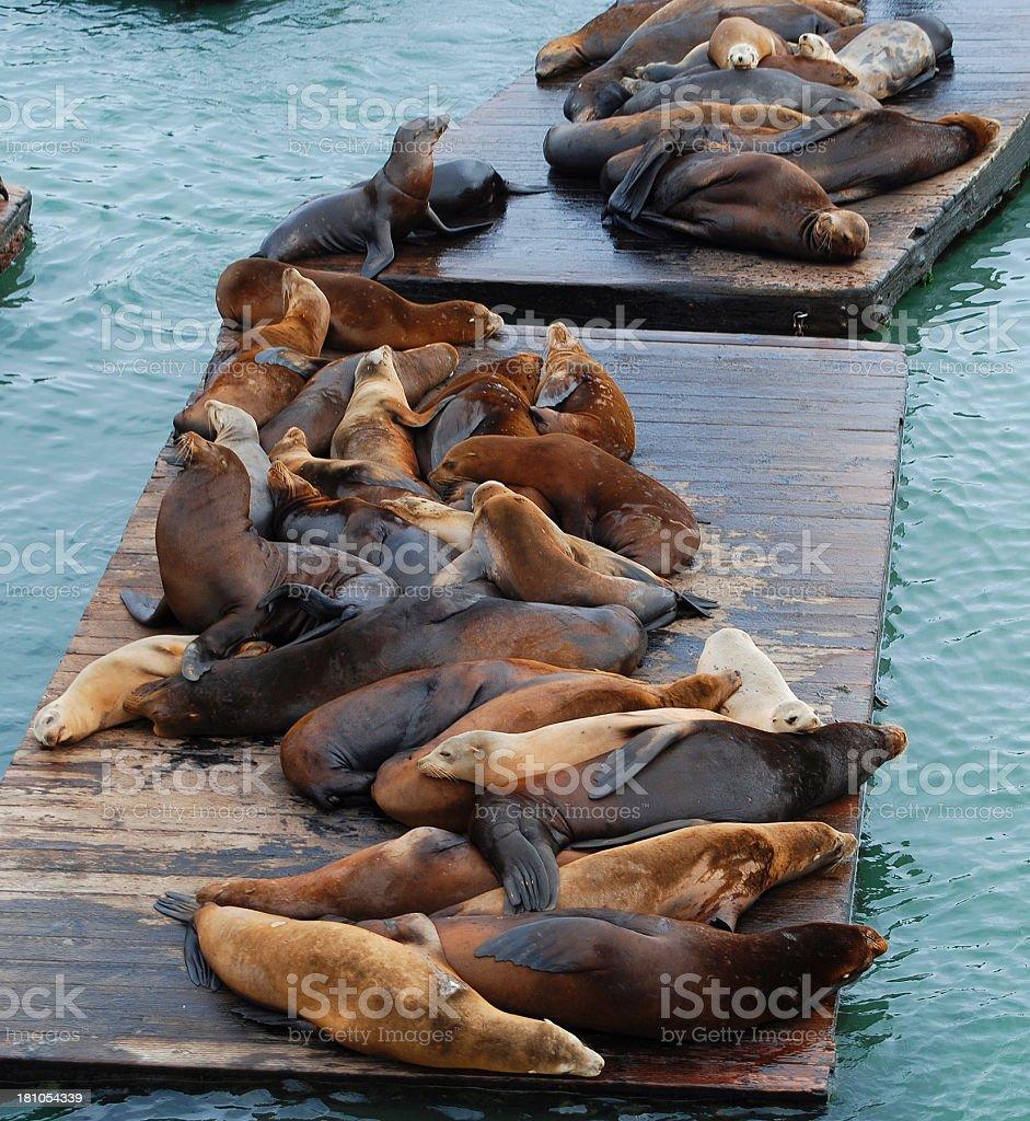 many seals royalty-free stock photo