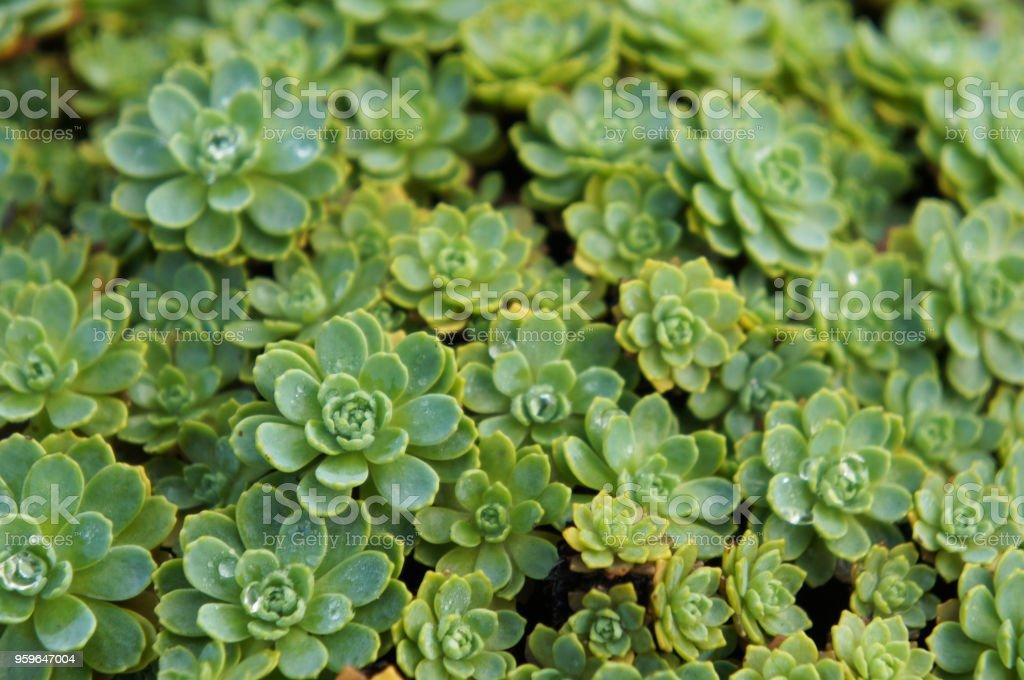 Muchos fondo de planta verde sedum pachyclados les - Foto de stock de Agricultura libre de derechos
