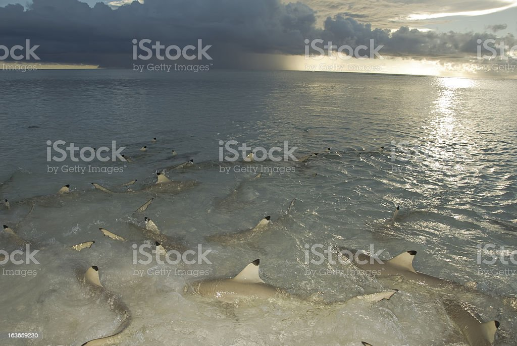 many sharks in shallows stock photo